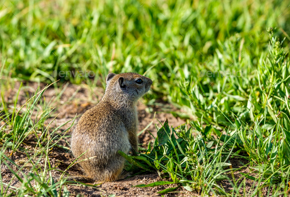 Uinta ground squirrel - Stock Photo - Images