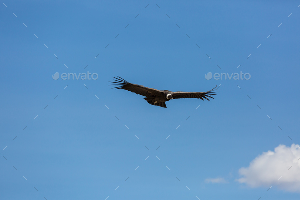 Condor - Stock Photo - Images