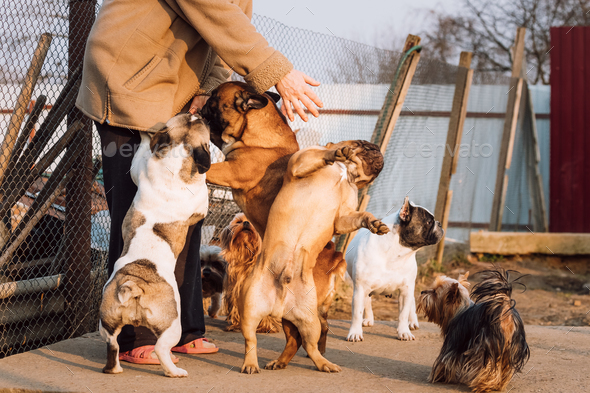 Many Different Dogs Having Fun With Woman Mistress. French Bulld - Stock Photo - Images