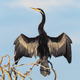 Darter Drying its Wings - PhotoDune Item for Sale