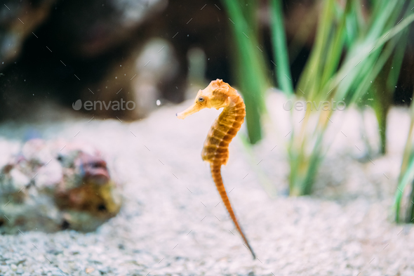 Long-snouted Seahorse Hippocampus Guttulatus Swimming In Aquariu - Stock Photo - Images
