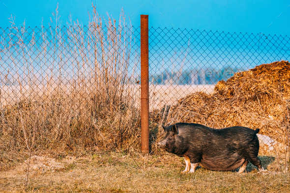 Household Black Pig Standing In Farm Yard. Pig Farming Is Raisin - Stock Photo - Images