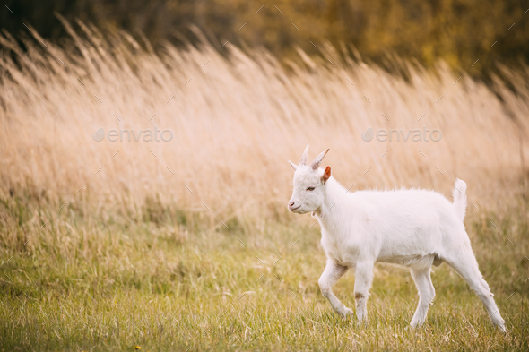 Kid Goat Grazes In Spring Grass. Farm Baby Animals - Stock Photo - Images