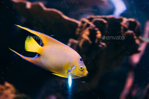 Queen Angelfish Holacanthus Ciliaris Swimming In Aquarium - Stock Photo - Images