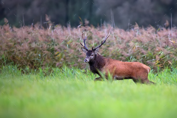 Red deer in a clearing i - Stock Photo - Images