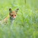 Fox in the grass - PhotoDune Item for Sale