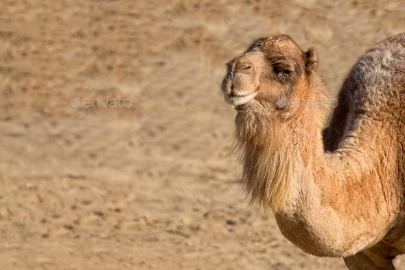 Camel, a portrait - Stock Photo - Images