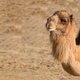 Camel, a portrait - PhotoDune Item for Sale