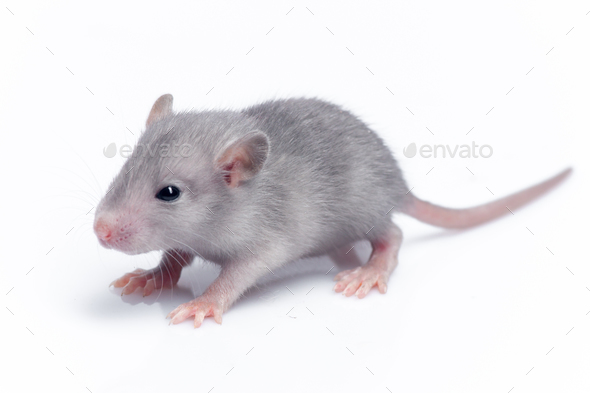 cute baby rat - Stock Photo - Images