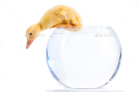Little duckling - Stock Photo - Images