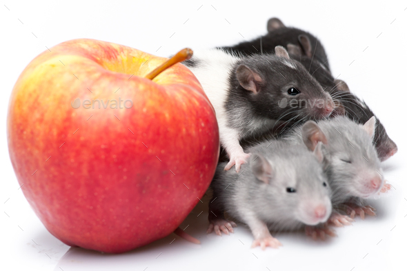 cute baby rats - Stock Photo - Images