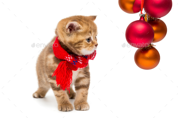Small British kitten and Christmas - Stock Photo - Images