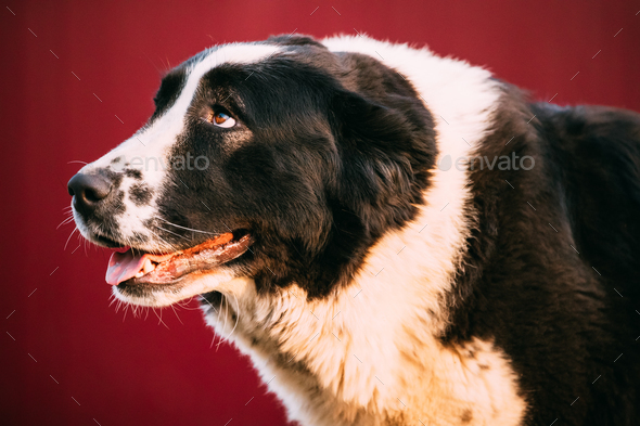 Central Asian Shepherd Dog. Alabai - An Ancient Breed From The R - Stock Photo - Images