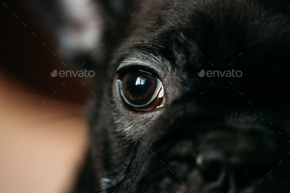 Close Up Eye Of Young Black French Bulldog Dog Puppy. Funny Dog - Stock Photo - Images