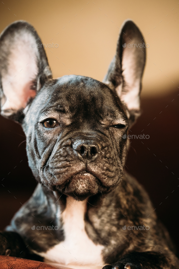 Young Black French Bulldog Dog Puppy With White Spot Sit On Red - Stock Photo - Images