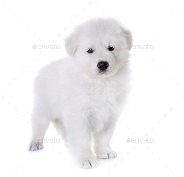 puppy White Swiss Shepherd Dog - Stock Photo - Images