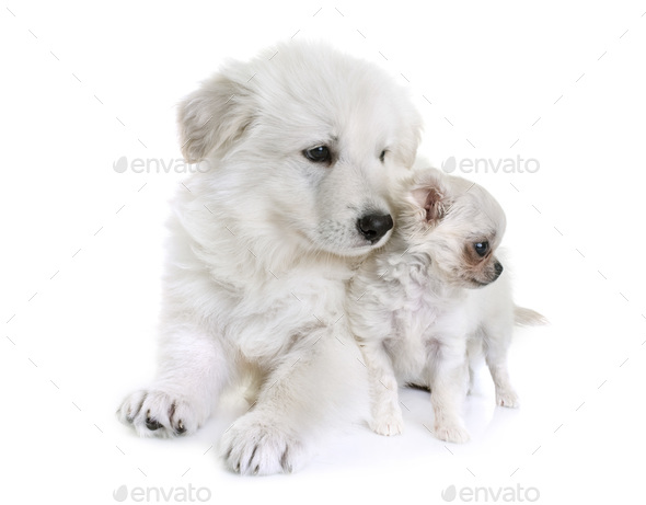 puppy White Swiss Shepherd Dog and puppy chihuahua - Stock Photo - Images