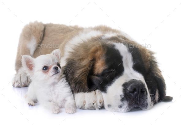 puppies chihuahua and saint bernard - Stock Photo - Images