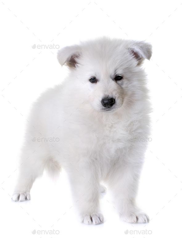 puppy White Swiss Shepherd Dog - Stock Photo - Images