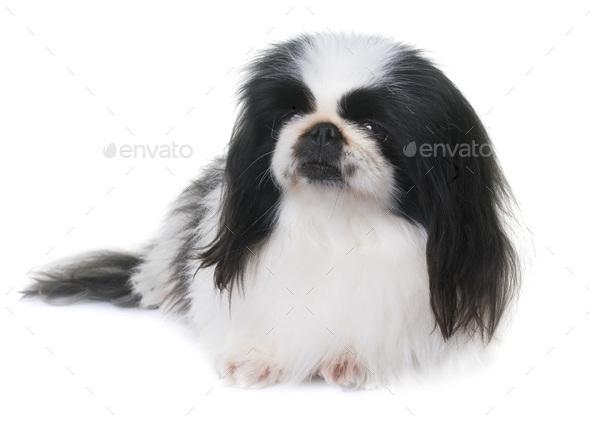 Pekingese dog in studio - Stock Photo - Images