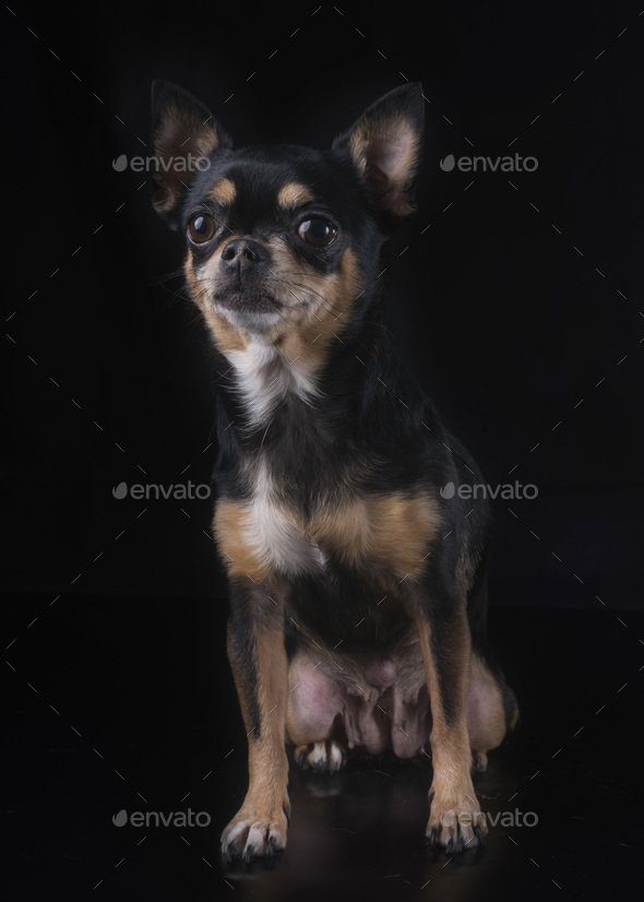 chihuahua in studio - Stock Photo - Images