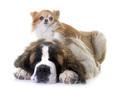 puppy saint bernard and chihuahua - PhotoDune Item for Sale
