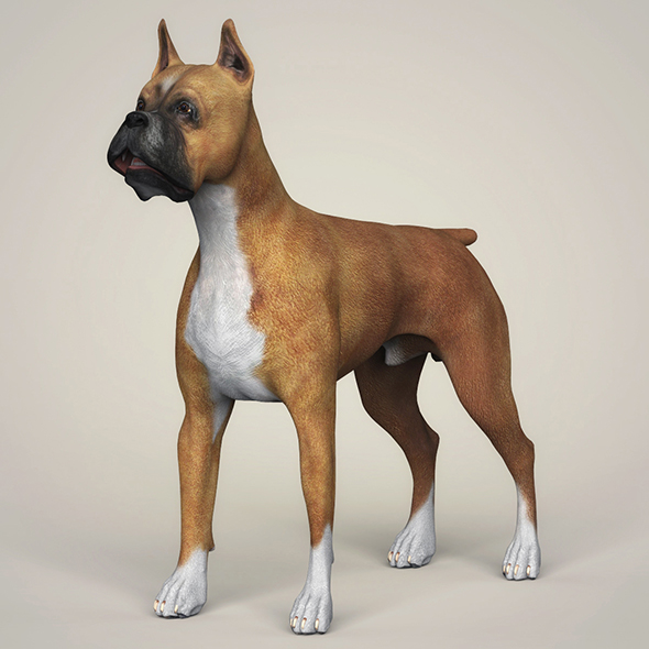 Realistic Boxer Dog - 3DOcean Item for Sale