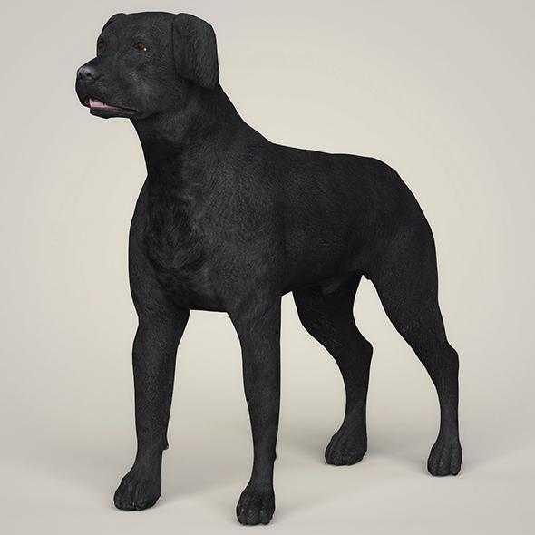 3DOcean Realistic Black Labrador Dog 21097751