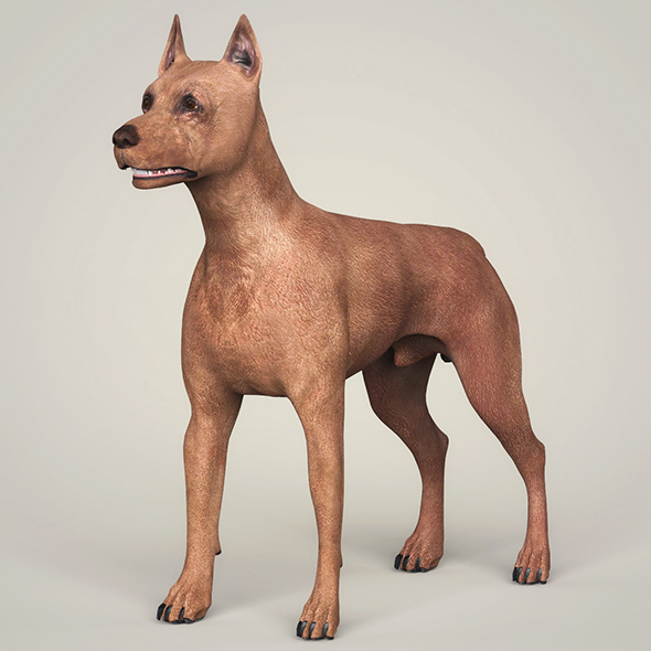 3DOcean Realistic Miniature Pinscher Dog 21097799