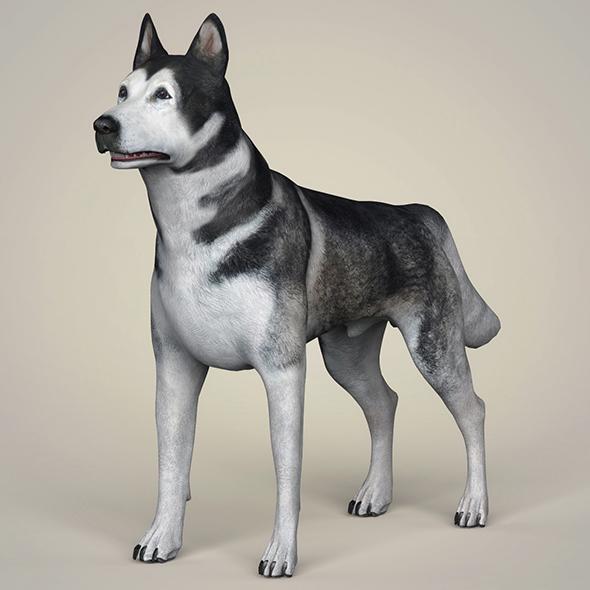 Realistic Alaskan Malamute Dog - 3DOcean Item for Sale