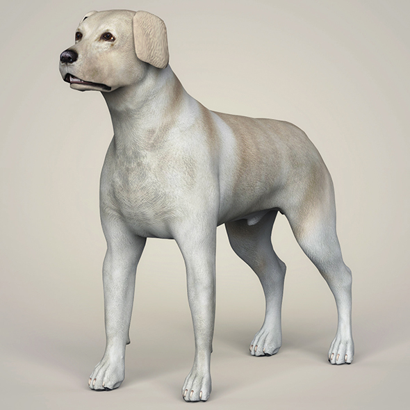 Realistic Labrador Dog - 3DOcean Item for Sale