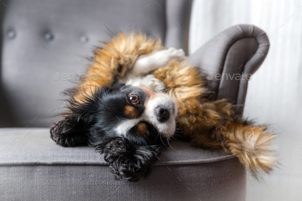 Dog under the furry cover - Stock Photo - Images