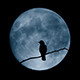 Bird Flying Off Branch In Front Of Large Moon - VideoHive Item for Sale