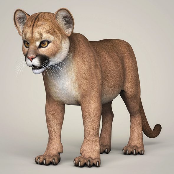 Photorealistic Cougar Cub - 3DOcean Item for Sale