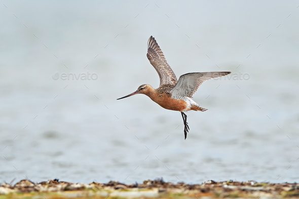 Bar-tailed godwit (Limosa lapponica) - Stock Photo - Images