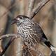 Eurasian nutcracker (Nucifraga caryocatactes) - PhotoDune Item for Sale