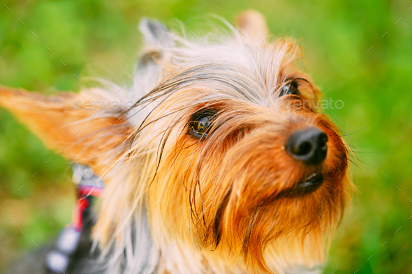 Close Up Yorkshire Terrier Dog Outdoor. - Stock Photo - Images