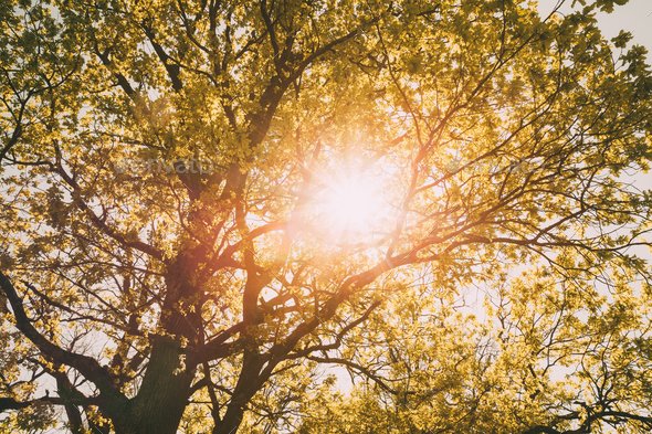 Spring Summer Sun Shining Through Canopy Of Tall Trees. Sunlight - Stock Photo - Images