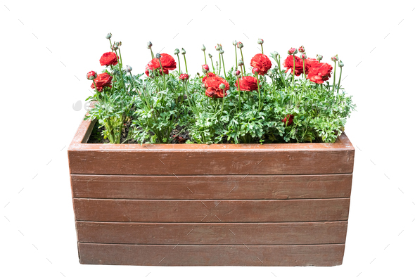 ranunculus asiaticus in wooden box on white - Stock Photo - Images