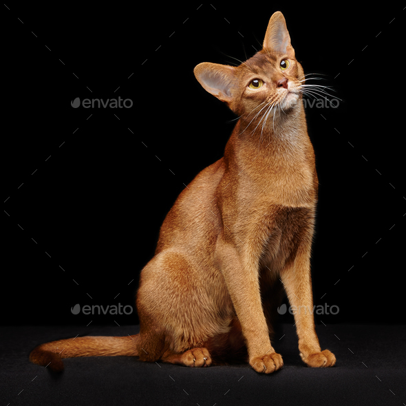 Portrait of beautiful young abyssinian cat - Stock Photo - Images
