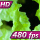 Green Crispy Leaves Of Cabbage Hd Pro - VideoHive Item for Sale