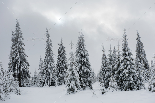Fresh snow covered fir trees  - Stock Photo - Images