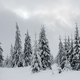 Fresh snow covered fir trees  - PhotoDune Item for Sale