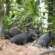 Cute Wild Boar Piglet Yawn and Sleeping In Thai Rainforest Jungle. Thailand. . - VideoHive Item for Sale