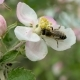 Bee on Apple Blossoming Flowers. - VideoHive Item for Sale
