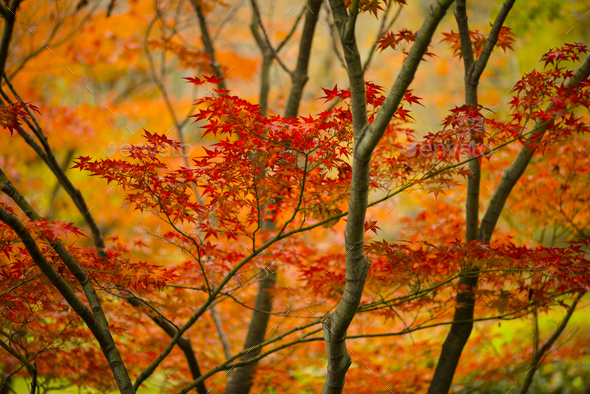 Maple tree, acer palmatum, with winged seeds. - Stock Photo - Images