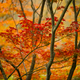 Maple tree, acer palmatum, with winged seeds. - PhotoDune Item for Sale