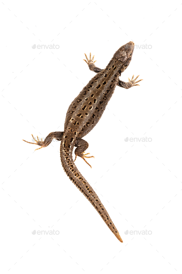 Sand lizard (Lacerta agilis) on a white background - Stock Photo - Images