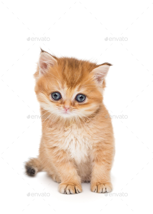 Small  kitten breed British - Stock Photo - Images
