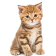 Small striped kitten breed British - PhotoDune Item for Sale